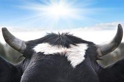 Bull-Hupe Stockbild