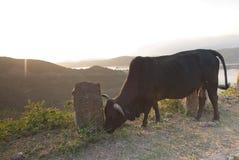 Bull im Berg Stockfoto