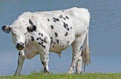 Bull irritada Fotografia de Stock Royalty Free