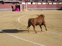 Bull-Kämpfen Stockfoto