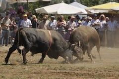 Bull-Kampf stockbilder