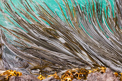 Bull Kelp blades on surface background texture Royalty Free Stock Photo