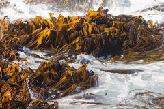 Bull Kelp Durvillaea Antarctica blades in surf. Bull Kelp or Durvillaea Antarctica blades floating in surf on ocean surface background texture pattern Royalty Free Stock Images