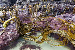Bull kelp on the rocks of Cathedral Caves beach, Catlins, New Ze Stock Photography