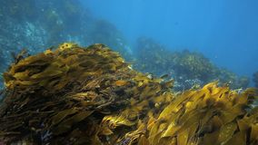 Bull kelp and seaweed moving in current underwater stock footage