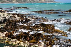 Bull kelp Seaweeds on shore rocks Royalty Free Stock Photography
