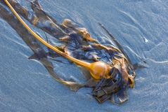 Bull kelp washed ashore. Vancouver Island, British Columbia, Canada. stock images
