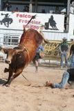 Bull bucking 2. Bull kicking up his heals Stock Photos