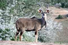 Bull Kudu Antelope Royalty Free Stock Photography