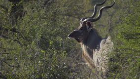 A bull Kudu turns to profile