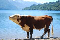 Bull by the lake stock photo