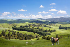 Bull and lambs grazing Stock Image