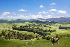 Bull and lambs grazing Stock Image