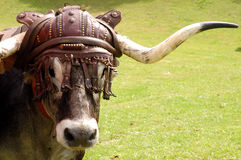 Bull with leather hat Stock Image