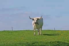 Bull levantesi in piedi Fotografia Stock Libera da Diritti