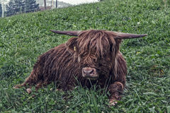 Bull. The bull lies in the grass Stock Photo