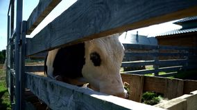 Bull on livestock farm. Cow on rural farm. Breeding cattle. Milk cattle. Bull on livestock farm. Close up dairy cow on milk factory. Milking cow in a animal farm stock footage
