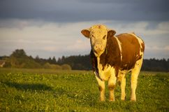 Young Bull in evening field at sunset Stock Photo