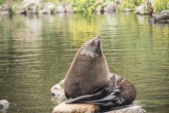 Bull male Fur Seal Arctocephalus galapagoensis. Suns on rocks stock photo