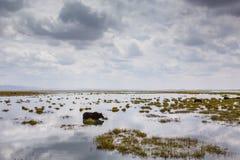 Bull in marsh Royalty Free Stock Images
