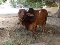 Bull masculina imagenes de archivo