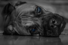 Bull Mastif. F dog with Blue eyes Royalty Free Stock Photos