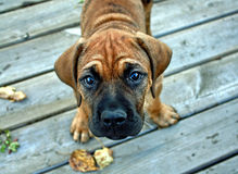 Bull Mastiff Stock Image