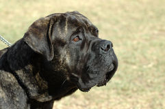 Bull Mastiff. A big Bull Mastiff dog head profile portrait with sad expression in face watching other dogs in the park Royalty Free Stock Image