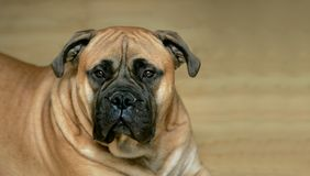 Bull mastiff dog Stock Photo
