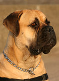 Bull Mastiff Dog. Royalty Free Stock Images