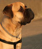 Bull Mastiff Dog Stock Image