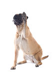 Bull mastiff dog Royalty Free Stock Photos