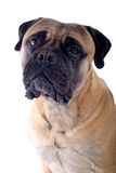 Bull mastiff dog Royalty Free Stock Images