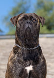 Bull-mastiff dog Stock Photos