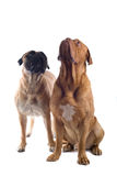 Bull mastiff and a french mastiff Royalty Free Stock Photos