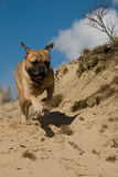 Bull Mastiff running Royalty Free Stock Photo