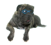 Bull mastiff in studio Stock Image