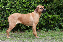 Bull mastiff tosa inu close up against green natural background Royalty Free Stock Photos