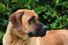 Bull mastiff tosa inu head close up Royalty Free Stock Photos