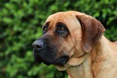 Bull mastiff tosa inu head close up Royalty Free Stock Photo