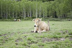 Bull on meadow Stock Photography