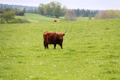 Bull on the meadow Stock Images