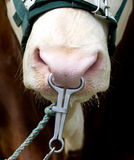 Bull with metal ring in nose Royalty Free Stock Images