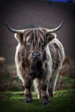 Bull on the moor Royalty Free Stock Photo