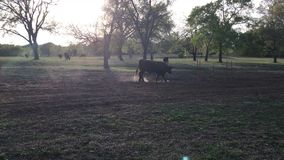 Bull moos and paws the ground in a pasture stock footage