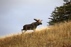 Bull moose Stock Photos