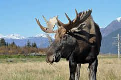 Bull Moose. This is a alaskan bull moose in a meadow with mountains in the background Royalty Free Stock Photography