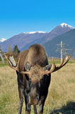Bull Moose Stock Photos