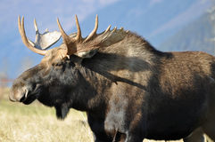 Bull moose. This is a close up of a bull moose in alaska stock photography
