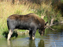 Bull moose. Catnapping in stream or river Stock Image